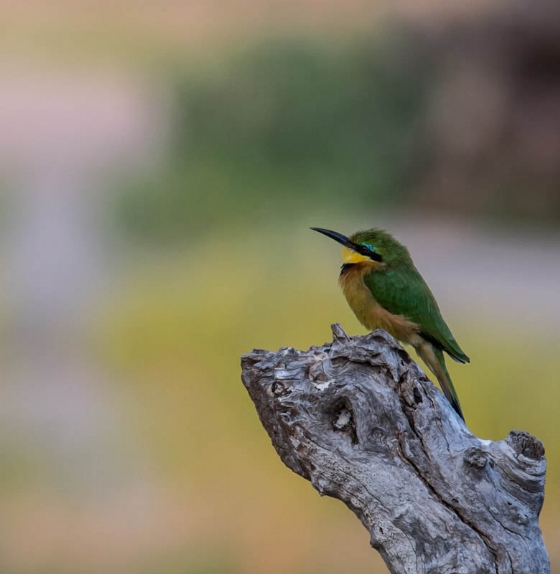 Little bee eater by JF B35