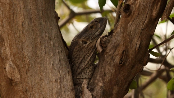 Lizard in Tree by Nic Holzer