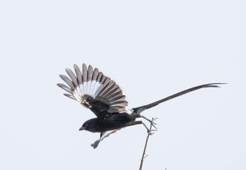 Longtailed Shrike by John B35