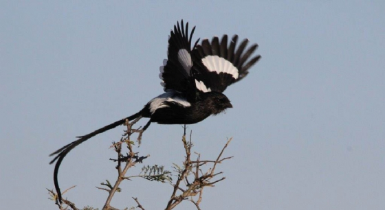 Magpie shrike in flight by TY A8