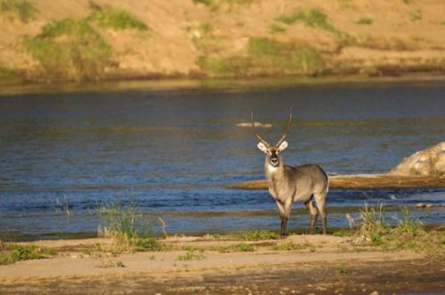 Majestic waterbuck bull by Manuel Lopes