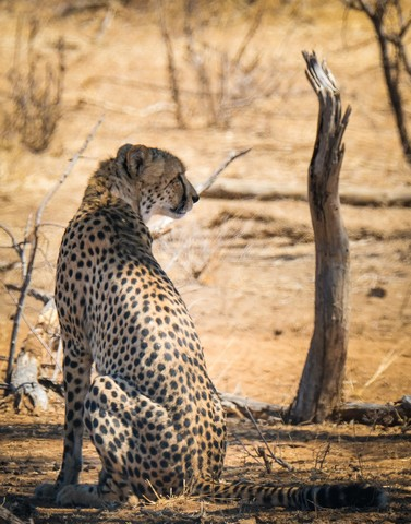 Male Cheetah on Bateleur Dr Olifants South 3 by Dan B33