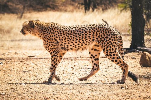 Male Cheetah on Bateleur Dr Olifants South by Dan B33
