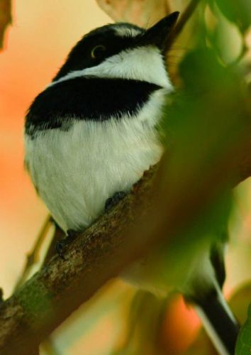 Male Chinspot Batis by Danny Shaw