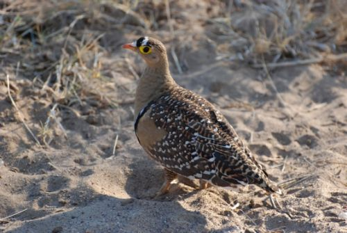 Male Doublebanded Sandgrouse by Benjamine Bronee