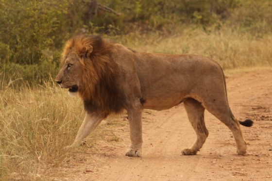 Male Lion 2 by Graham Benfield