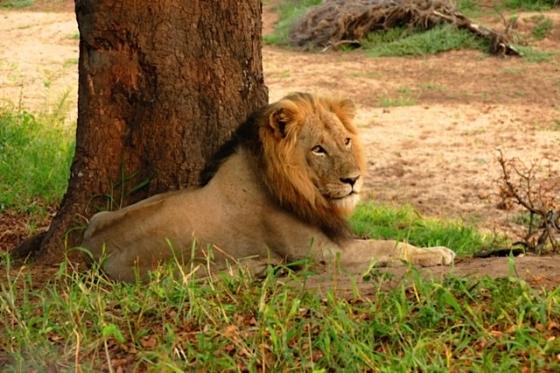 Male Lion 2 by John Fletcher