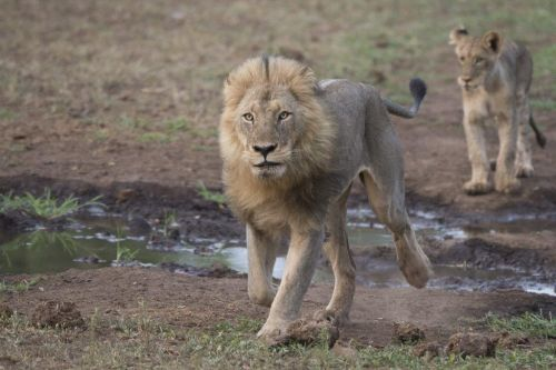 Male Lion (Tsukudu pride) by Johann B38 (1)
