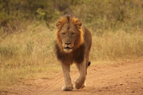 Male Lion by Graham Benfield