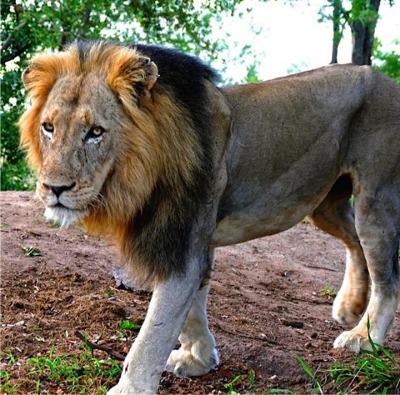 Male Lion by John Fletcher