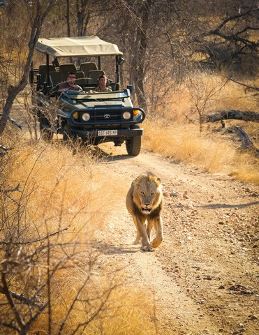 Male Lion on Deadlead Drive by Dan B33