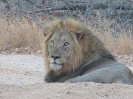 Male Lion on camp road by Dave Ball