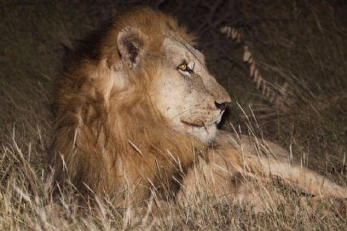 Male Lions on Jackal Plains ORGR taken in April by Graham Benfield
