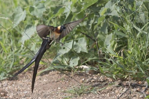 Male Paradise Whydah by Johann B38
