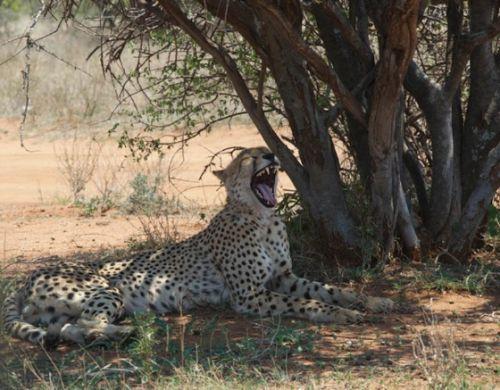 Male cheetah at Warthog pan by Eileen Fletcher