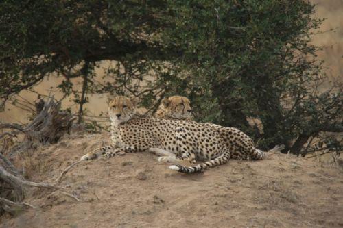 Male cheetah on Buffalo Plains by James Markham