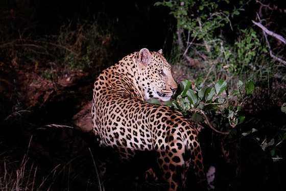 Male leopard at Causeway South by Dan B33