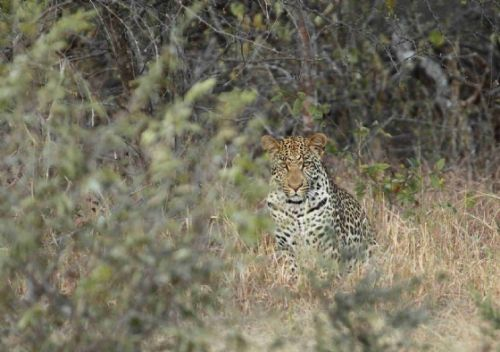 Male leopard at old aistrip by Craig Ryall