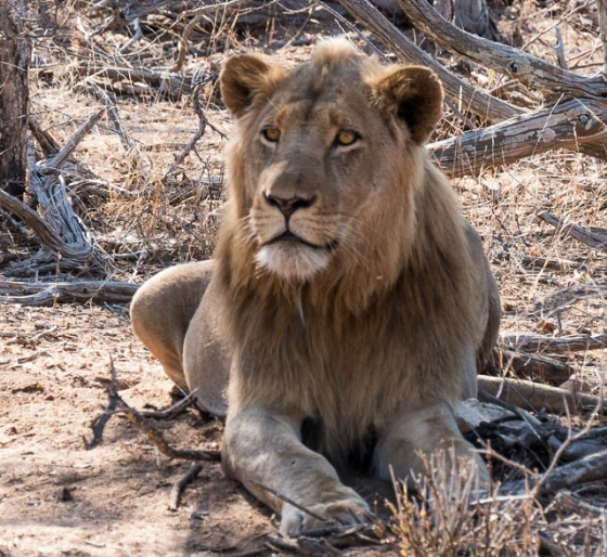 Male lion @ Moolmans by Fletchers B35