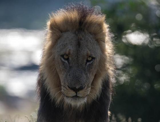 Male lion at causeway by JF B35