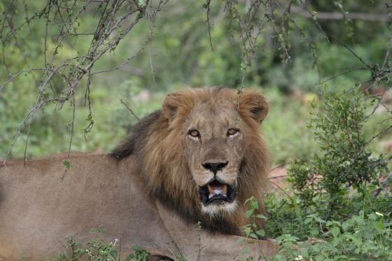 Male lion by Kenny Jones