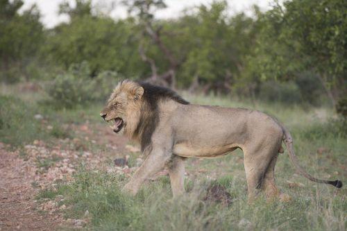 Male lion flehming (Tsukudu pride) by Johann B38