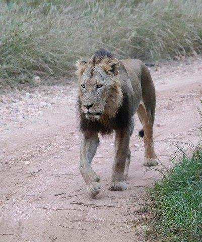 Male lion on Marula Drive by Kate B8