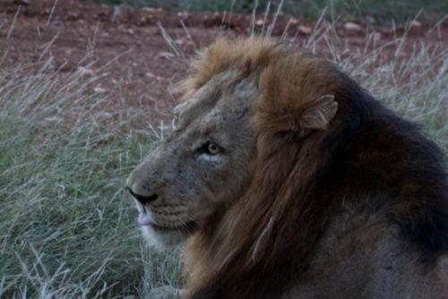 Male lion on Pebble Loop by Alec Ryall