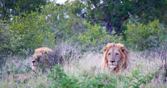 Male lions by Jason B5
