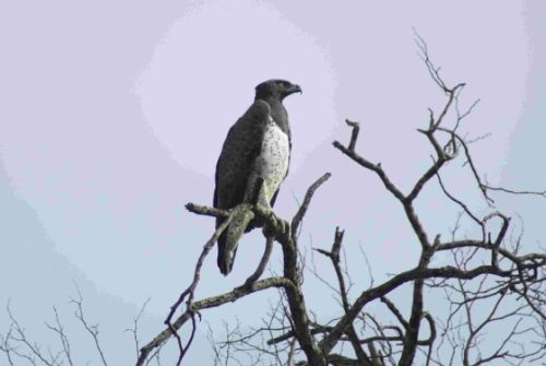 Martial Eagle by Roy Markham