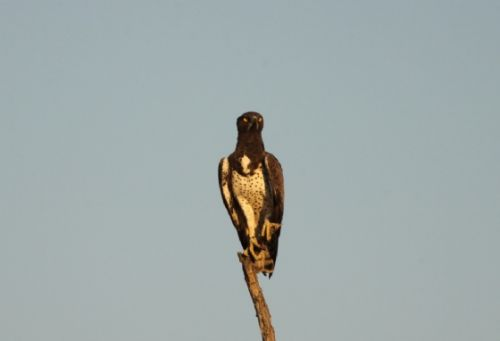 Martial Eagle on river loop by Graham Benfield