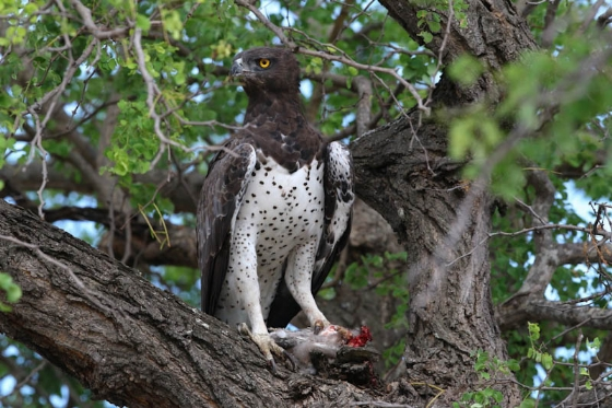 Martial Eagle with kill by Simon Leppard