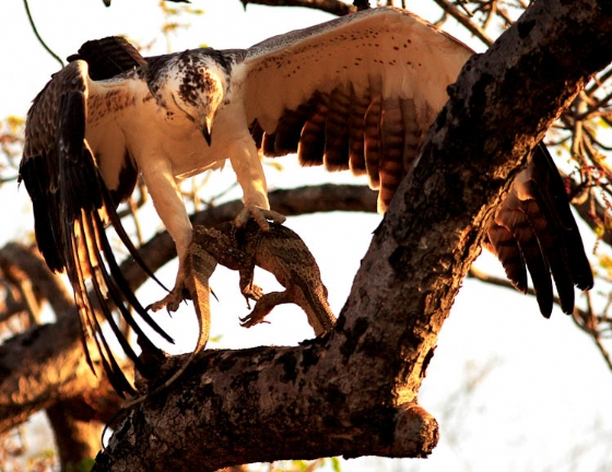 Martial eagle and dinner by Danny A8