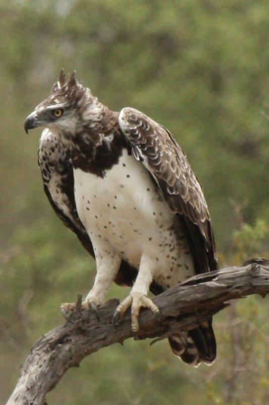 Martial eagle at Ebony crossing by Chelsea B1