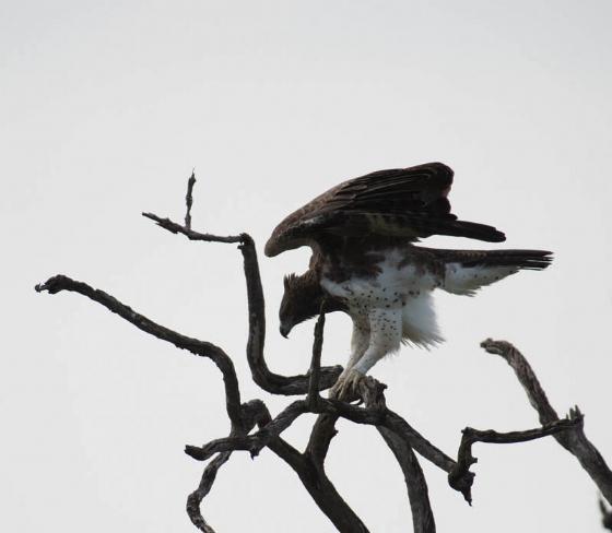 Martial eagle by Eileen Fletcher