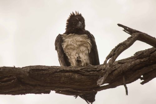 Martial eagle on river drive by Jason Truscott