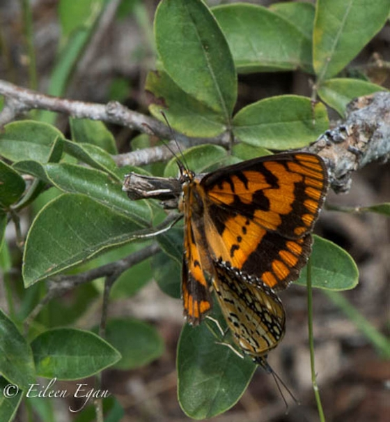 Mating butterflies by Eileen Egan