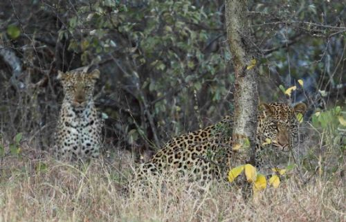 Mating leopards at old airstrip by Craig Ryall