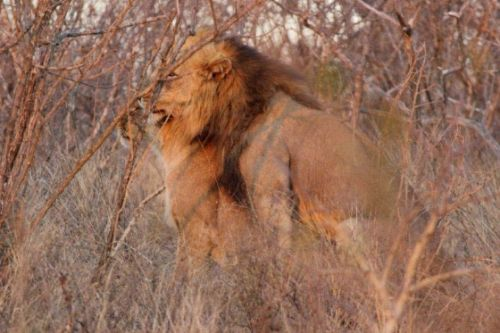 Mating lion at Mopane Corner by Veronica Hurly