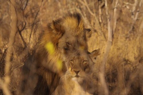 Mating lion by Graham Benfield