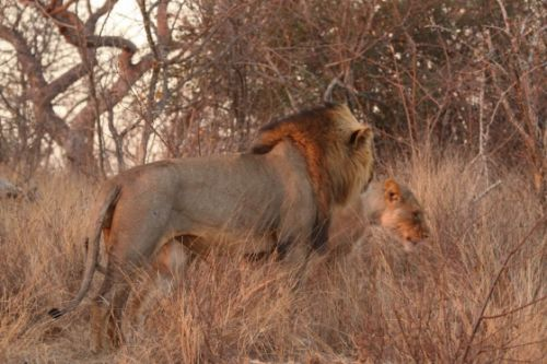 Mating pair of lion by Graham Benfield