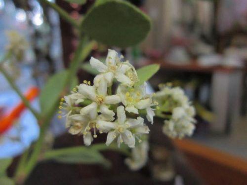 Maytenus heterophylla flowers close up by Anita