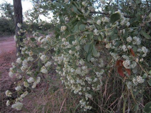 Maytenus heterophylla in flower by Anita