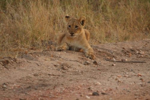 Mischievous cub by Craig Ryall