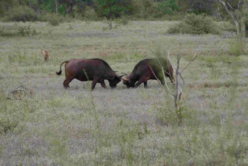 Mock fighting Rhino Plains by Roy Markham