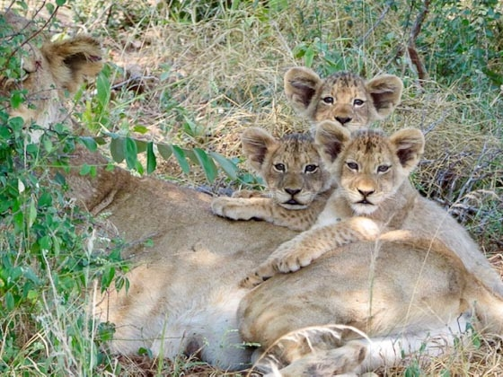 Mom and 3 cubs by Anneke B13