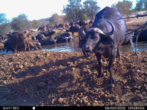 More buffalo at Kudu Pan