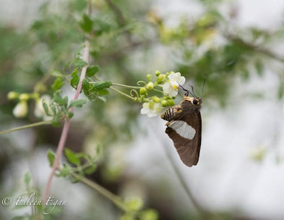 Moth having a drink by Eileen Egan