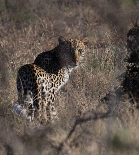 Nervous leopard on old airstrip by Eileen Fletcher