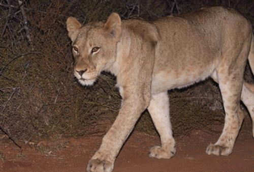 New Lioness by Graham Benfield 2